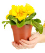 Beautiful yellow primula in flowerpot in hands, isolated