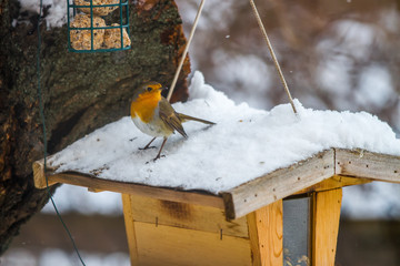 European Robin at the feeding place in winter