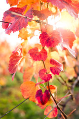 Vineyard in Autumn. Shallow depth of field.