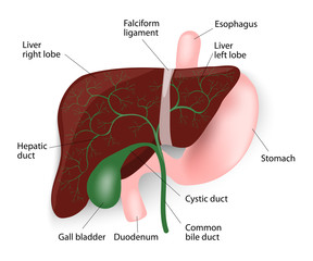 Liver, gallbladder, esophagus, stomach and duodenum