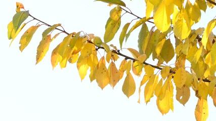 Herbstkirschenlaub