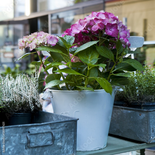 hydrangea. Flower in flower`s shop . Summer time.