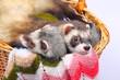 Sable ferret in basket