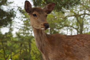 Deer at Nara, Japan