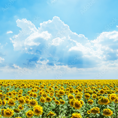 cloudy sky and sunflowers field