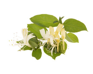 Sprig of honeysuckle with white flowers and green leaves