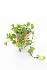 鉢植えのポトス