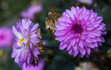 Aster is a genus of flowering plants in the family Asteraceae