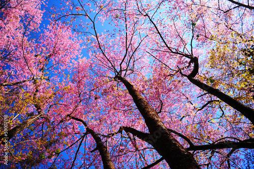 Plakat Sakura różowy kwiat wiśni kwiaty