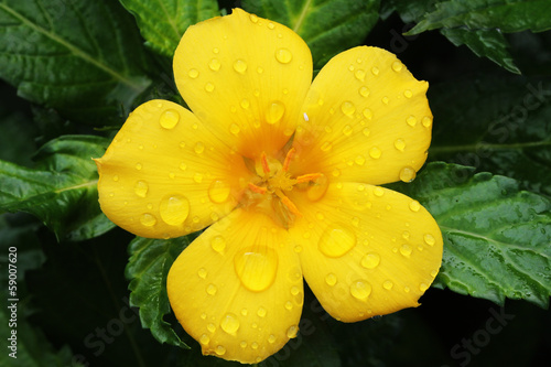 canvas print picture GELBE_BLUETE_110_turnera_ulmifolia