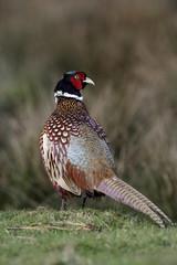 Pheasant, Phasianus colchicus