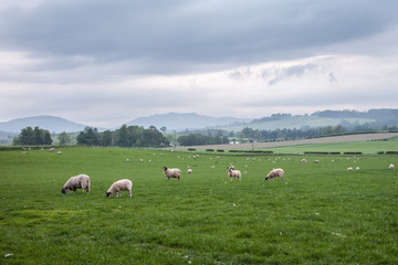 Landscape of Scotland highland with sheep on the fields
