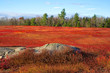 Field of red blueberry leaves with trees and rock