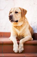 Labrador retriever seduto sulle scale
