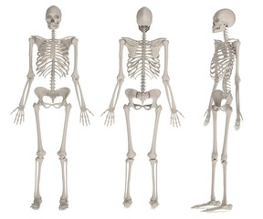 realistic 3d render of female skeleton