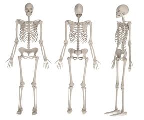 realistic 3d render of female skeleton