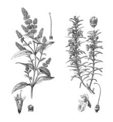 Dicotyledons : Mint & Rosmary
