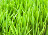 Fresh Wheat Grass - 59018073