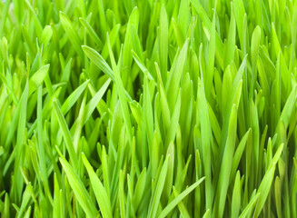 Fresh Wheat Grass