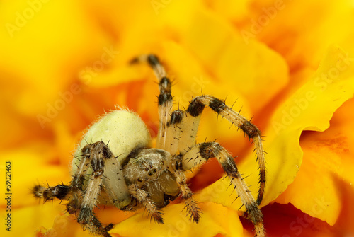 Spider in yello