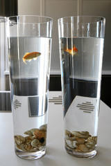 Two goldfish swimming in matching water glasses
