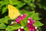 Catopsilia Florella - African Migrant female Butterfly poster