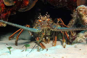 Caribbean Spiny Lobster, Cozumel, Mexico