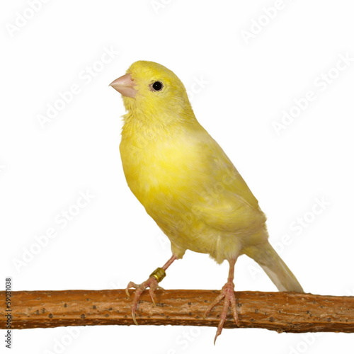 Yellow canary Serinus canaria isolated on white background