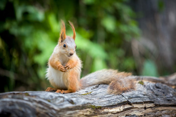 Gunny squirrel