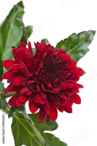 dark red chrysanthemum