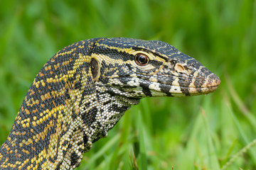 Head of a Nile Monitor Lizard