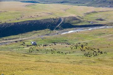 Livestock pasturing near yurt