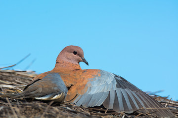 Laughing Dove with one wing outstretched