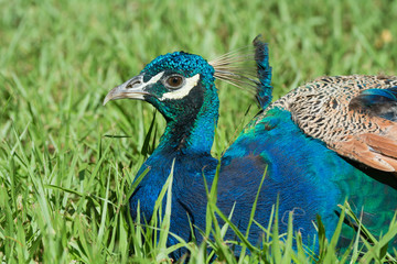 Male Indian Peacock resting on grass