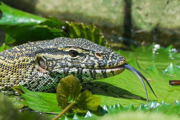 Nile Monitor Lizard sticking out its Tongue