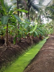 Banana and coconut plantation in a rural farm in Thailand
