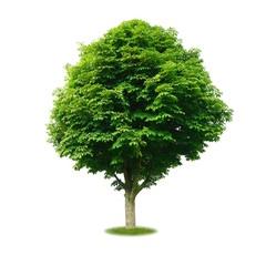 Freigestellter Kastanienbaum