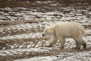 Wet Polar Bear Strolling on Frozen Snow-Laden Tire Tracks