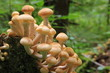 Honey agarics. Honey fungus. Mushrooms.