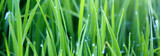 Green grass with morning dew - 59044450