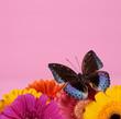 Schmetterling mit Gerbera vor rosa Hintergrund