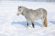Amazing young mare in winter