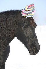 Funny black horse with winter hat