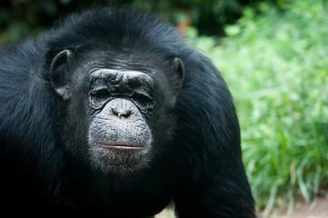 Portrait de chimpanzé