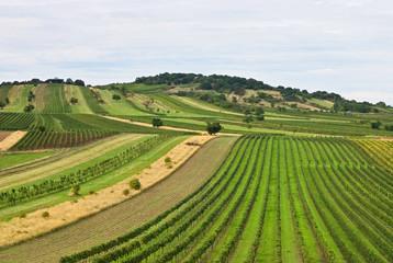 Weingarten am Hügel im Herbst