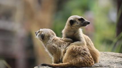 Meerkat standing be hide the wood