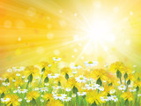 Vector sunshine background with yellow chamomiles and dandelions