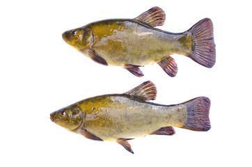 Two tench fish after fishing isolated on white background