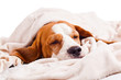 canvas print picture - dog under a blanket on white