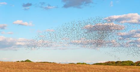 bird flock on a yellow meadow